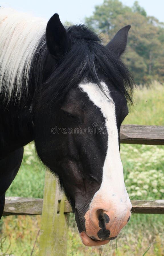 konia piebald cart fotografia stock