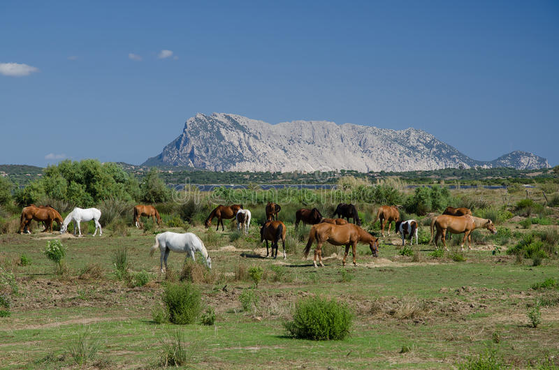Konia stado, Tavolara wyspa, Sardinia fotografia stock