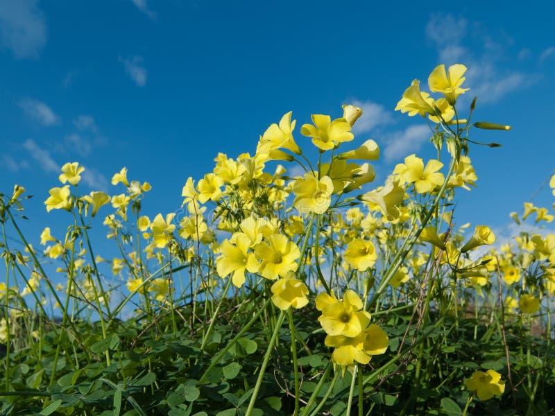 koniczynowi kwiaty obrazy stock