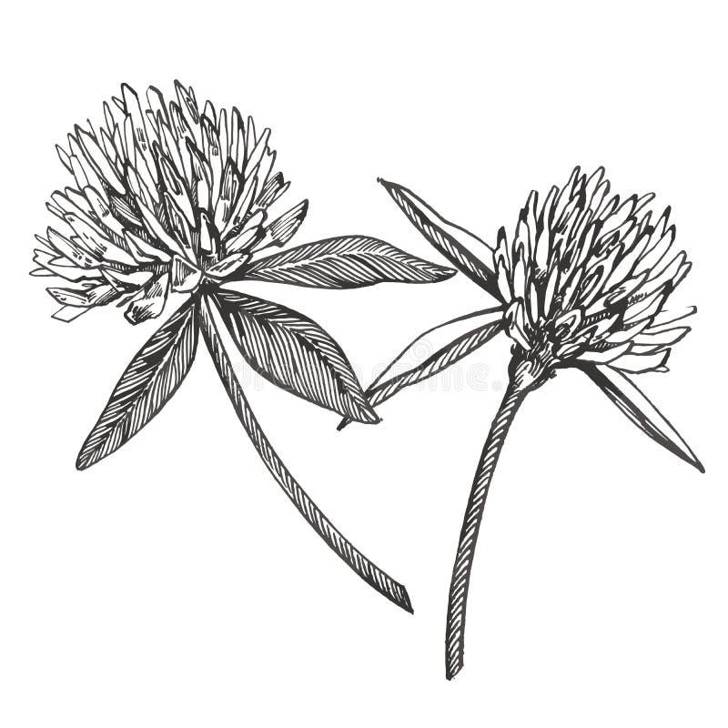 Koniczynowy kwiatu wektoru set Odosobniona dzika roślina i liście na białym tle Ziołowa grawerująca stylowa ilustracja ilustracji