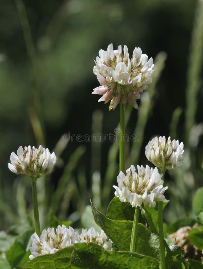 koniczynowy repens trifolium biel fotografia royalty free