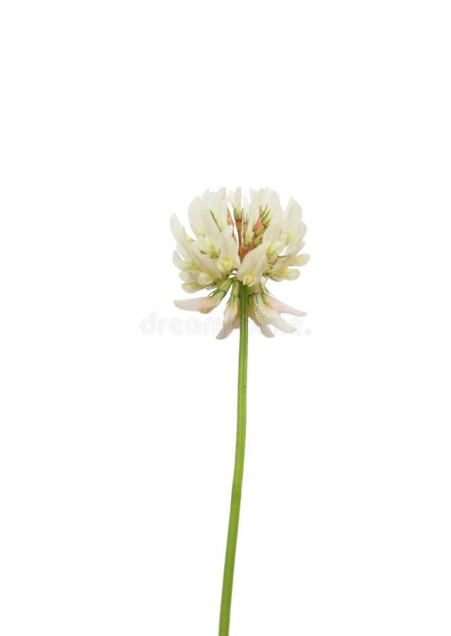 koniczynowy repens trifolium biel obrazy royalty free