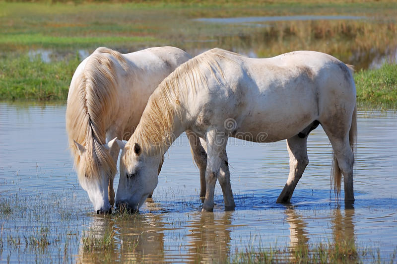 konie biały obraz stock