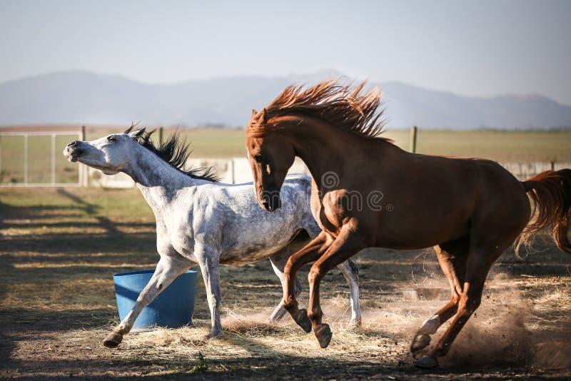 Konie biega i bawić się zdjęcie royalty free