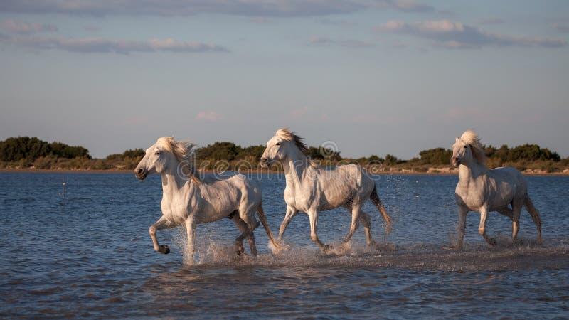 Konie biega w wodzie fotografia royalty free