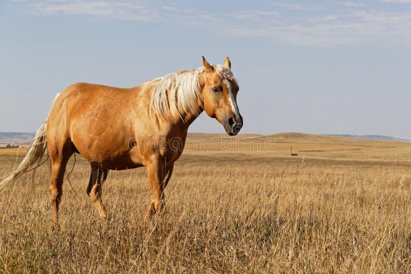 Konie chodzi w krajobrazie równiny, Północny Dakota zdjęcia stock