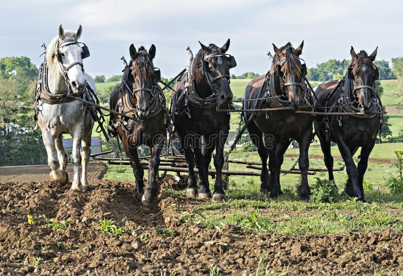 Konie Ciągnie Wpólnie jako ekipa fotografia royalty free