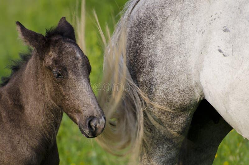 Konie Dzicy Obraz Stock