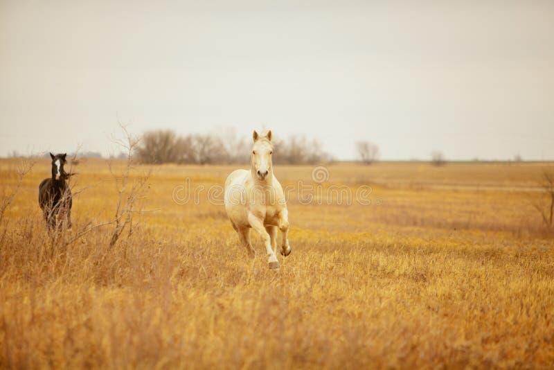 Konie galopujący fotografia royalty free