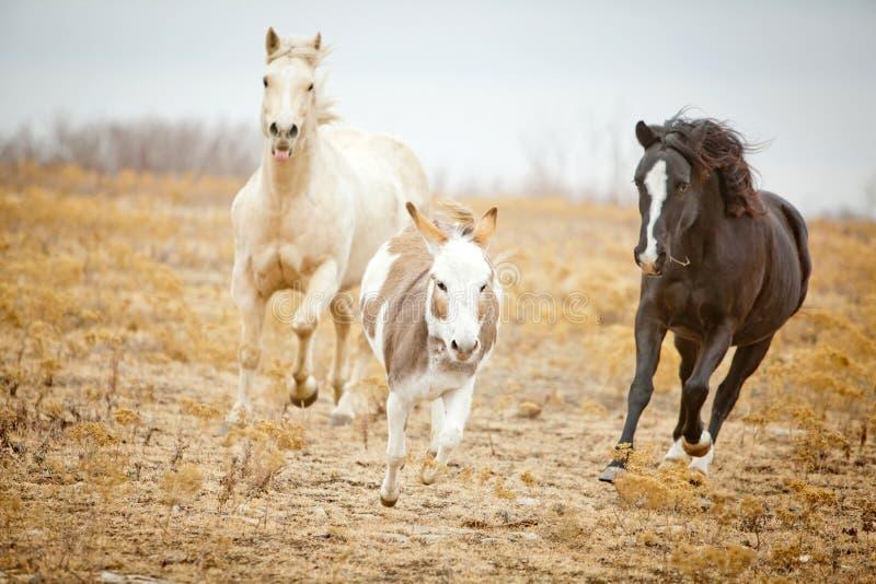 Konie gonią osła zdjęcie stock