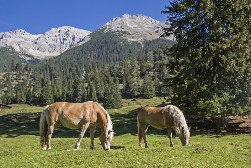 Konie haflingera na łące górskie obrazy stock