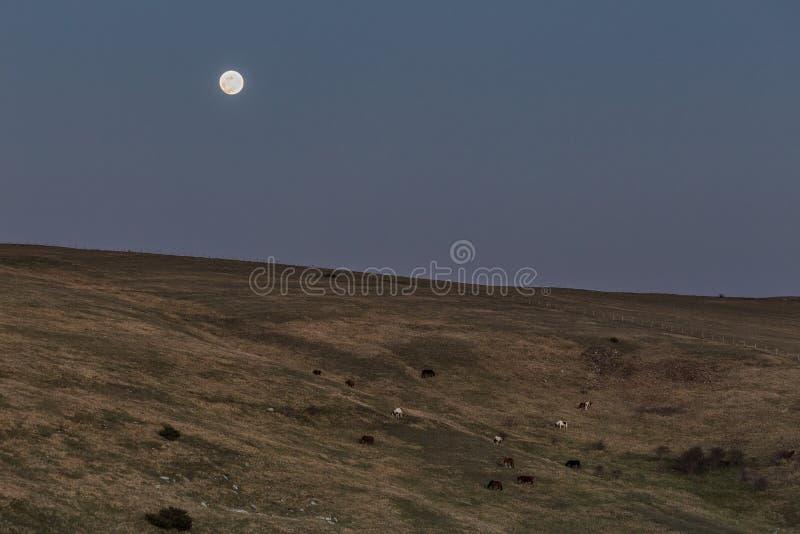 Konie i księżyc w pełni zdjęcie royalty free