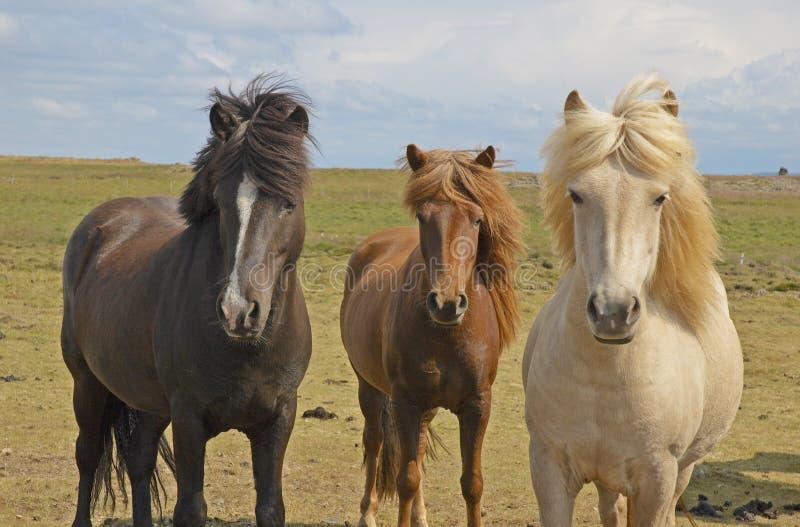 konie icelandic fotografia stock