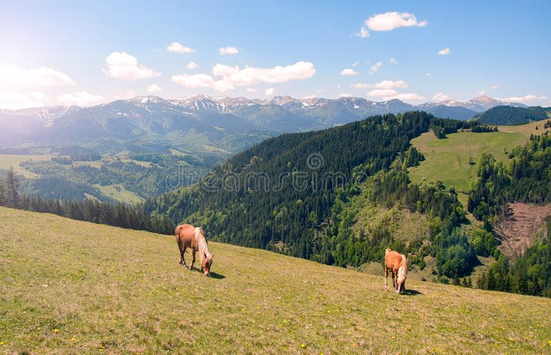 Konie na pięknych halnych łąkach w Carpathians zdjęcie stock