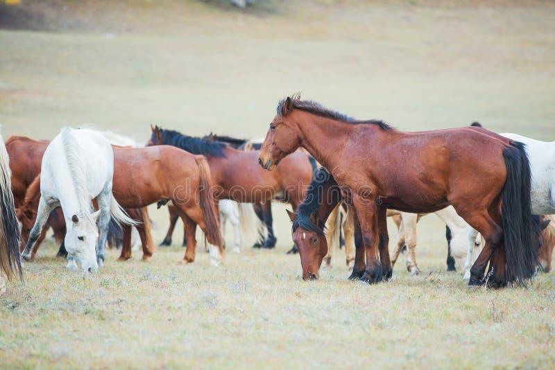 Konie na prerii Wewnętrzny Mongolia, Chiny zdjęcia stock