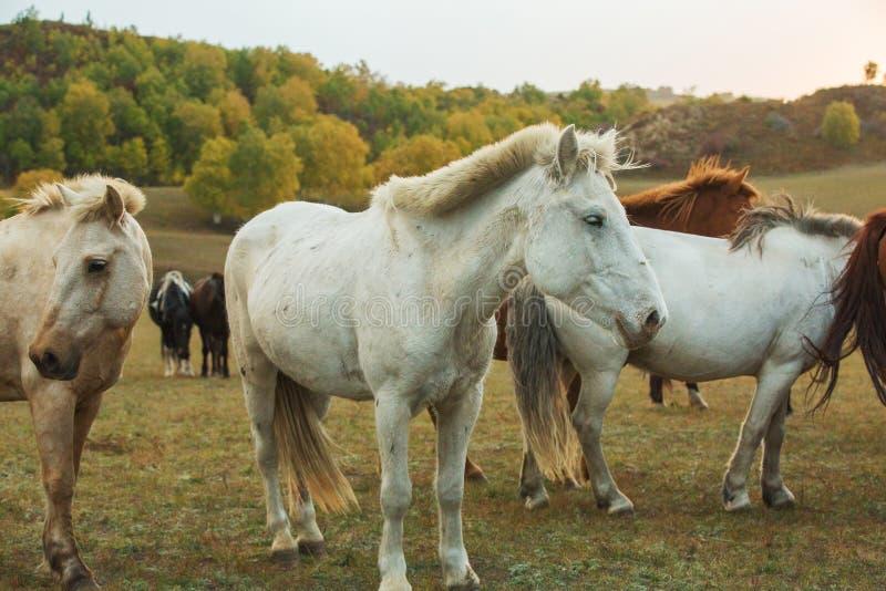 Konie na prerii Wewnętrzny Mongolia, Chiny zdjęcie royalty free