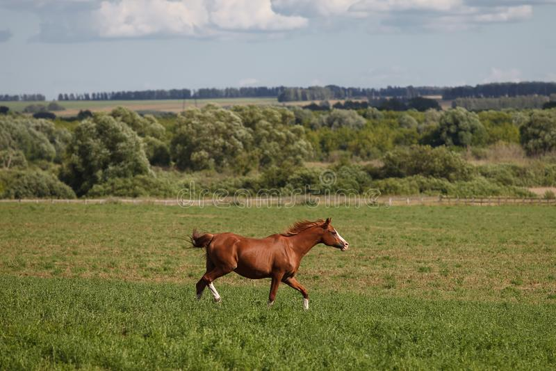 Konie na zielenieją pole zdjęcie royalty free