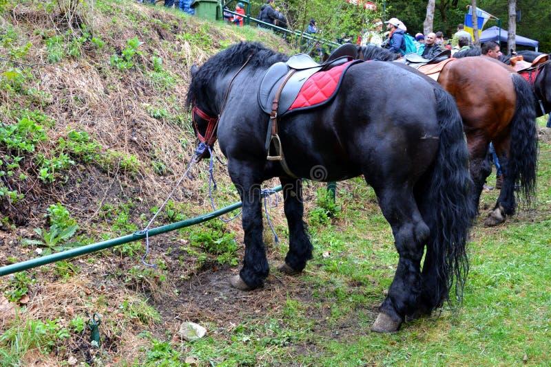 Konie odpoczywa podczas Brasov Juni parady obraz royalty free