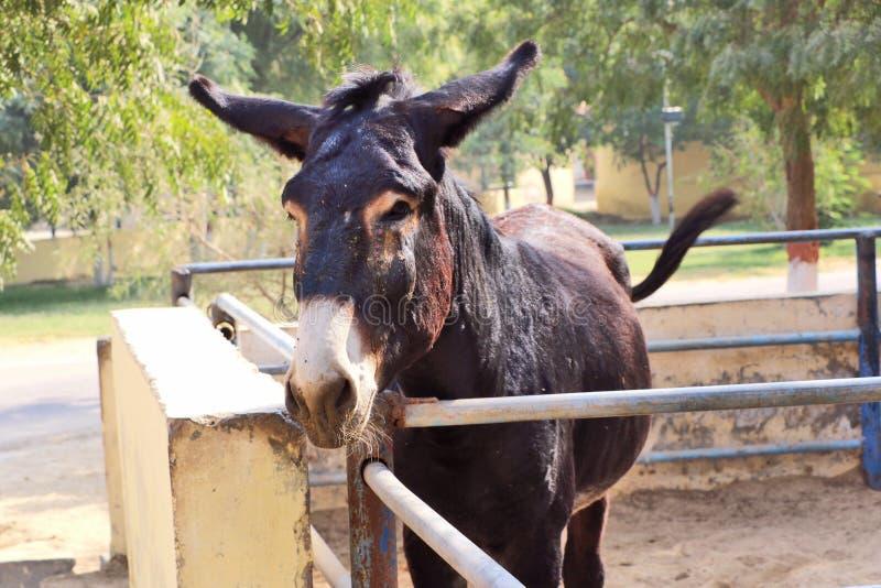 Konie, osły/muł przy Krajowy Centrum Badań na Equines, Bikaner fotografia stock