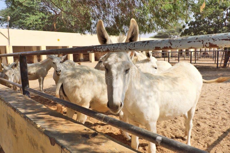 Konie, osły/muł przy Krajowy Centrum Badań na Equines, Bikaner zdjęcia stock