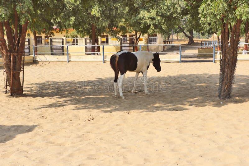 Konie, osły/muł przy Krajowy Centrum Badań na Equines, Bikaner obraz royalty free