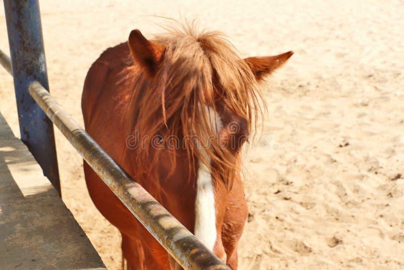 Konie, osły/muł przy Krajowy Centrum Badań na Equines, Bikaner obrazy stock