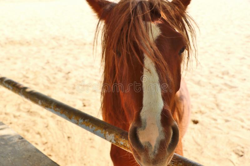 Konie, osły/muł przy Krajowy Centrum Badań na Equines, Bikaner zdjęcia royalty free