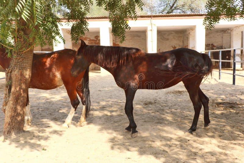 Konie, osły/muł przy Krajowy Centrum Badań na Equines, Bikaner zdjęcie stock