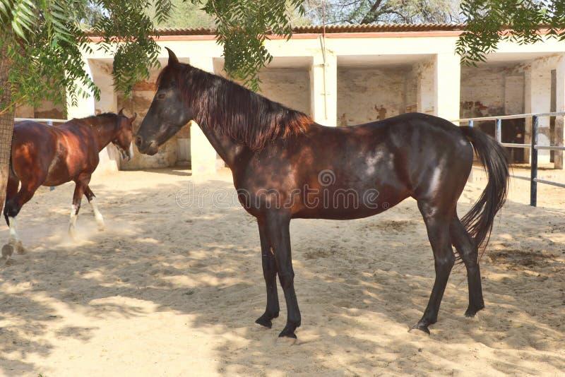 Konie, osły/muł przy Krajowy Centrum Badań na Equines, Bikaner zdjęcie royalty free