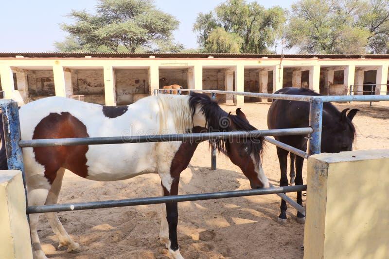 Konie, osły/muł przy Krajowy Centrum Badań na Equines, Bikaner obraz stock
