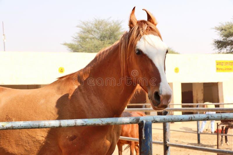 Konie, osły/muł przy Krajowy Centrum Badań na Equines, Bikaner obrazy royalty free
