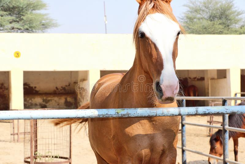 Konie, osły/muł przy Krajowy Centrum Badań na Equines, Bikaner fotografia royalty free