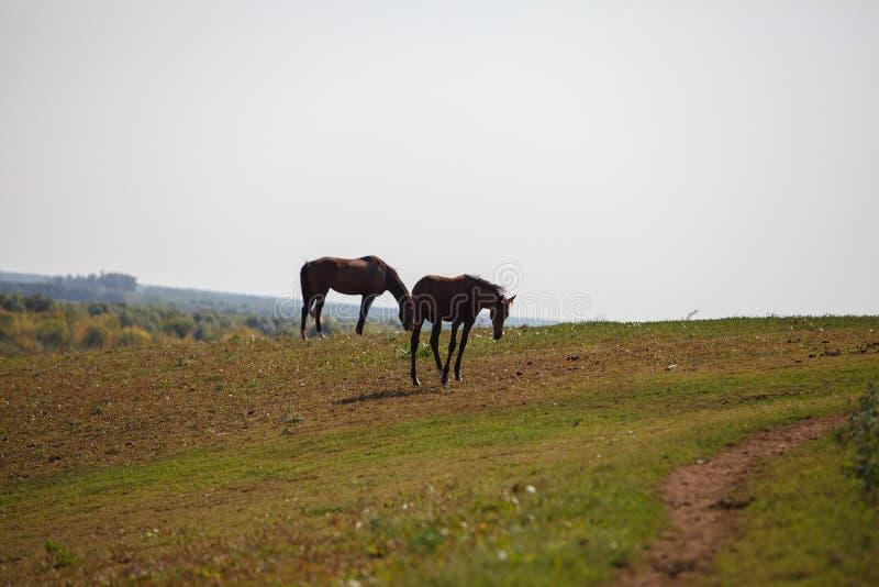 Konie pasa w łące, paśniku/ obrazy stock