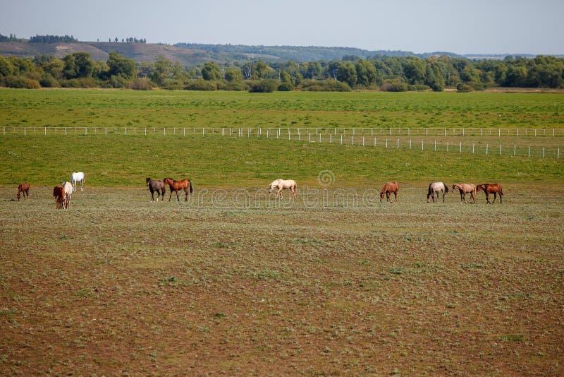 Konie pasa w łące, paśniku/ zdjęcie royalty free