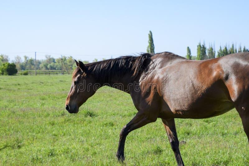 Konie pasają w paśniku Padoków konie na konia gospodarstwie rolnym Wal fotografia stock