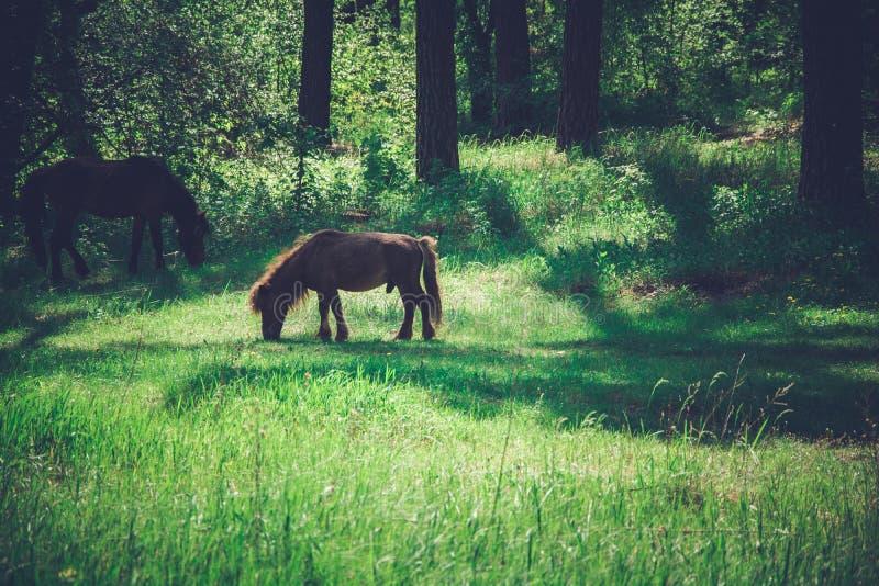 Konie pasają w sosnowym lesie fotografia stock