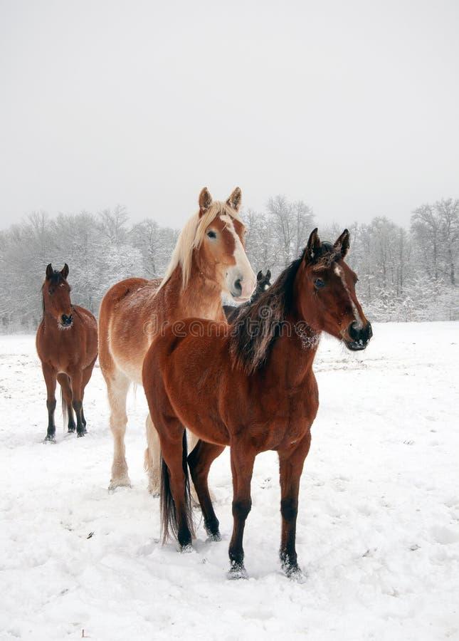 Konie patrzeje za widzem w śnieżnym paśniku fotografia royalty free