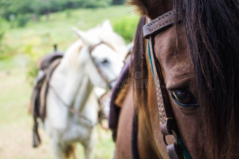 Konie pieczętujący dla przejażdżki w polu zdjęcia royalty free
