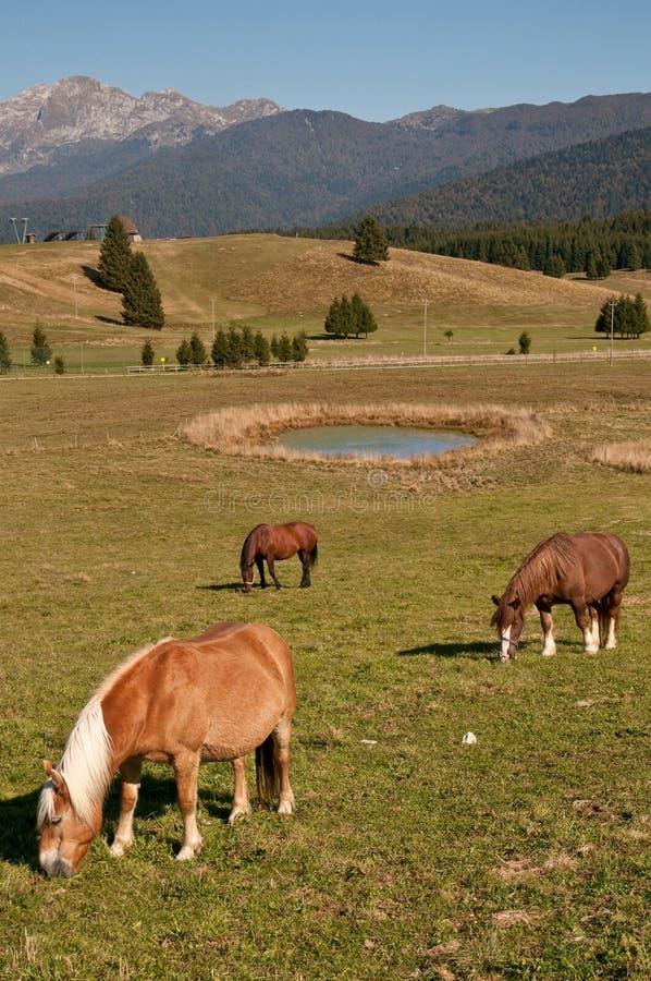 Konie przy pian cansiglio obraz stock