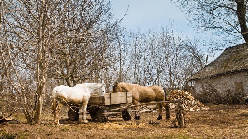Konie stoją i jedzą od fury, drewniany dray w podwórko, rocznik wiosny wsi krajobraz, retro wiejski dom zdjęcie stock