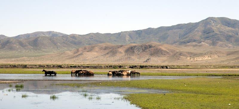 Konie Stoją w rzece obrazy royalty free