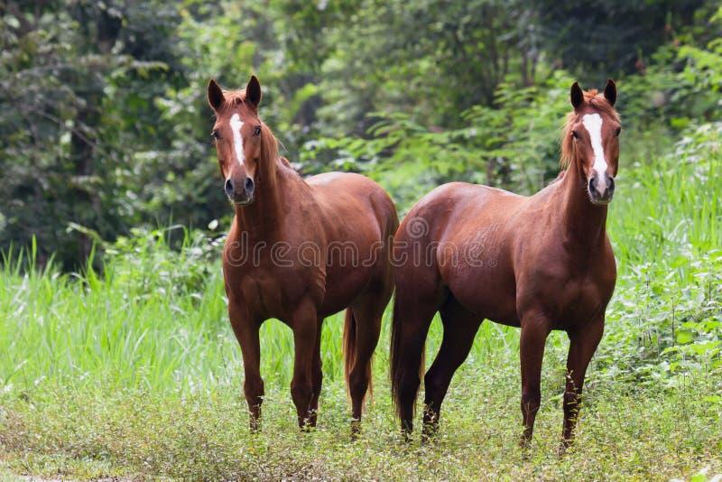 Konie w Belize obrazy stock