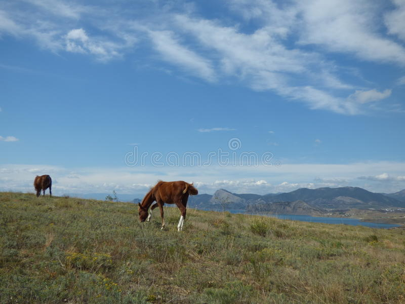 Konie w Crimea zdjęcia royalty free