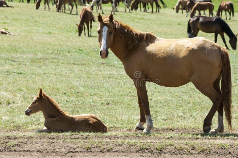 Konie w górach, equine, nag, hossa, kilof, dobbin obrazy stock