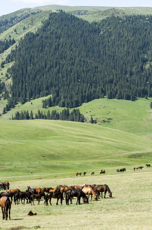 Konie w górach, equine, nag, hossa, kilof, dobbin zdjęcia stock