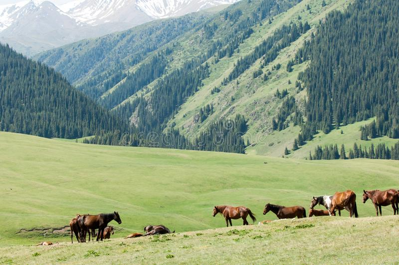 Konie w górach, equine, nag, hossa, kilof, dobbin zdjęcie royalty free