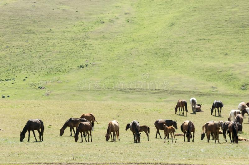 Konie w górach, equine, nag, hossa, kilof, dobbin fotografia stock