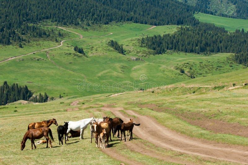 Konie w górach, equine, nag, hossa, kilof, dobbin zdjęcie stock