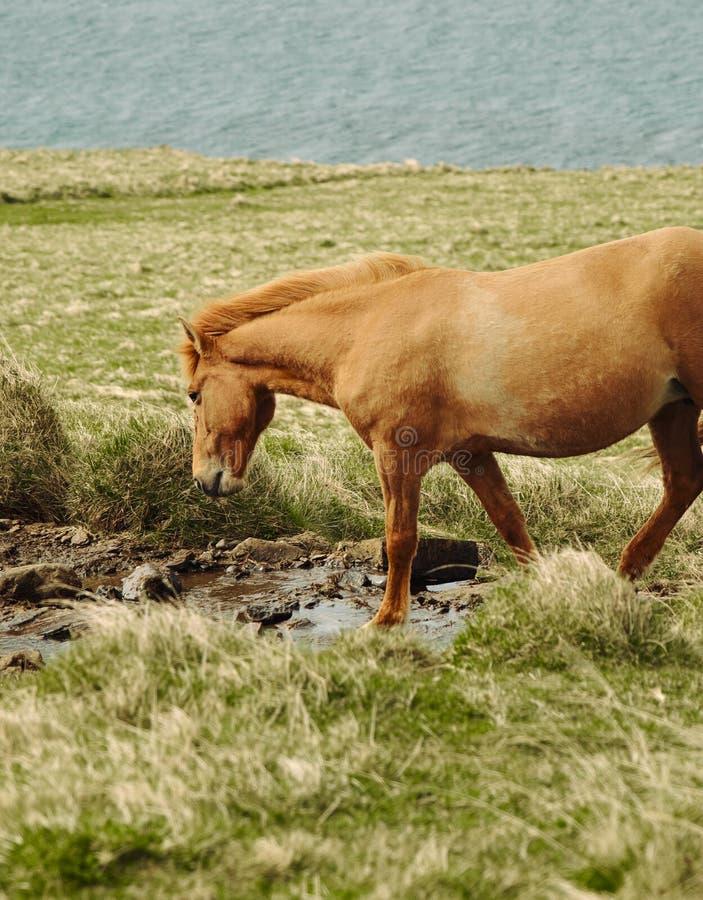 Konie w g?rach w Iceland zdjęcie royalty free