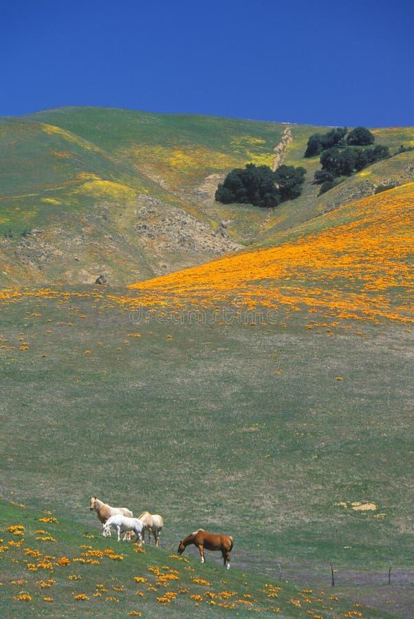 Konie w maczka polu i wildflowers, antylopy dolina, Lancaster, CA obraz royalty free